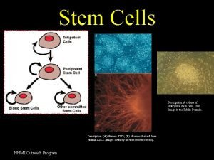 Stem Cells Description A colony of embryonic stem