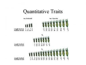 Quantitative Traits Quantitative Traits Distribution of Corn Ear