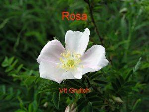 Rosa Vt Grulich Rosa kee zpeen listy ostny