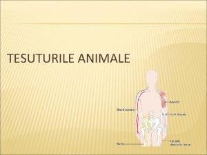 TESUTURILE ANIMALE Clasificare Tesut epitelial Tesut conjunctiv Tesut