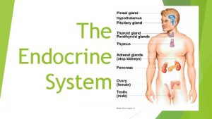 The Endocrine System What is the Endocrine System