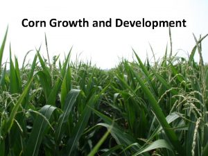 Corn Growth and Development Outline Stress and yield