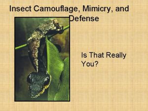 Insect Camouflage Mimicry and Defense Is That Really