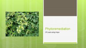 Phytoremediation Of Lead using Hops Why Lead Lead