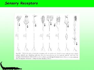 Sensory Receptors Sensory Receptors Range from simple neurons
