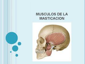 MUSCULOS DE LA MASTICACION MUSCULO MASETERO ORIGEN Arco