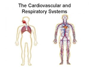 The Cardiovascular and Respiratory Systems Human Respiratory System