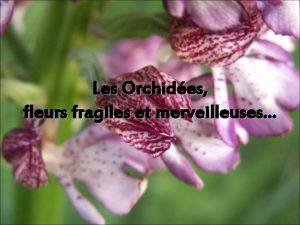 Les Orchides fleurs fragiles et merveilleuses Questce quune