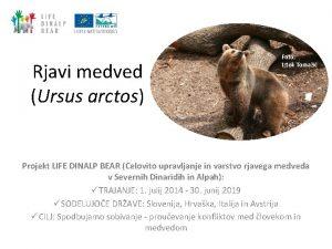 Rjavi medved Ursus arctos Foto Iztok Tomai Projekt