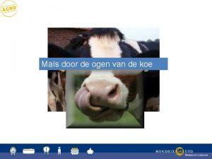 Mas door de ogen van de koe Mas