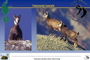 Tatransk kamzk Rupicapra rupicapra subsp tatricaTanap Uvod l