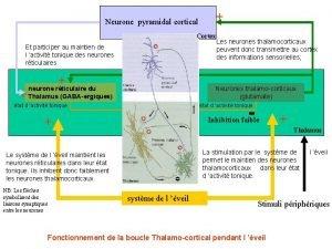 Neurone pyramidal cortical Cortex Et participer au maintien