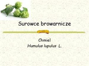Surowce browarnicze Chmiel Humulus lupulus L chmiel Grupa