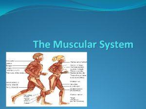 The Muscular System The Muscular System There approximately