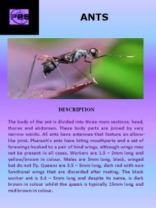 ANTS DESCRIPTION The body of the ant is