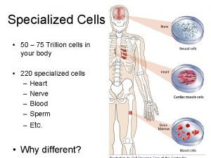 Specialized Cells 50 75 Trillion cells in your