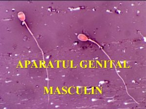 APARATUL GENITAL MASCULIN 1 Aparatul genital masculin n