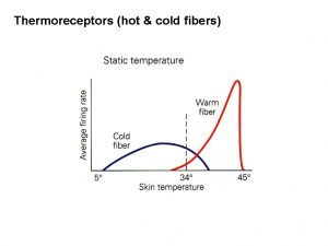 Thermoreceptors hot cold fibers Temperature gated Na channels