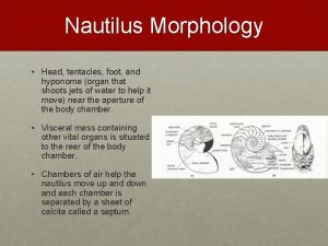 Nautilus Morphology Head tentacles foot and hyponome organ