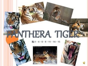 PANTHERA TIGER 1469111415 Tiger Form Factor Tigers are