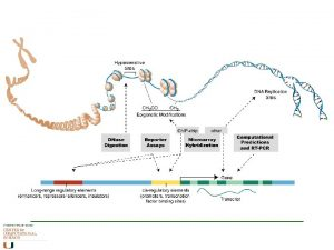Regulation of Gene Expression Pretranscriptional regulation chromatin compaction