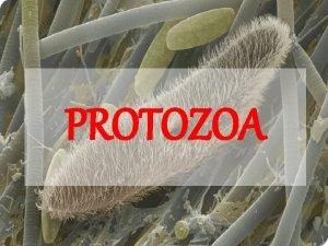 PROTOZOA Apa itu Protozoa Protozoa Proto Zoon Pertama