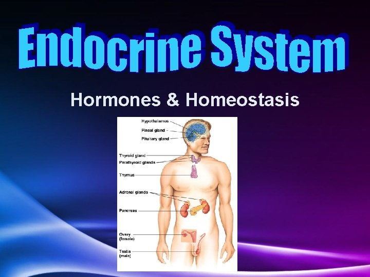 Hormones Homeostasis Homeostasis Homeostasis maintaining internal balance in
