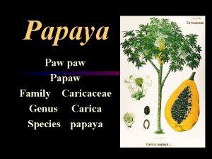 Papaya Paw paw Papaw Family Caricaceae Genus Carica