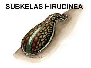 SUBKELAS HIRUDINEA q Lintah merupakan nama umum untuk