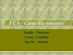TEA Camellia sinensis Family Theaceae Genus Camellia Species