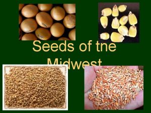 Seeds of the Midwest Corn Corn History Maize