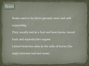 Stems tend to be above ground erect and