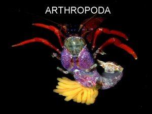 ARTHROPODA Unutranja graa Telesna duplja je miksocel hemocel