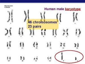 Human male karyotype 46 chromosomes 23 pairs AP