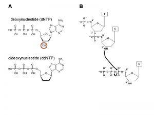 A B deoxynucleotide d NTP dideoxynucleotide dd NTP