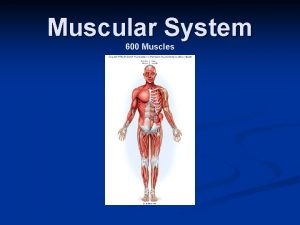 Muscular System 600 Muscles 3 types of muscles