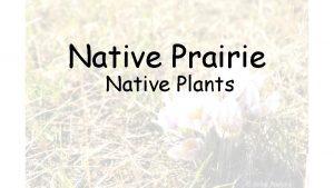 Native Prairie Native Plants Saskatchewan prairies began to