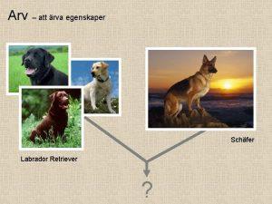 Arv att rva egenskaper Schfer Labrador Retriever Arv