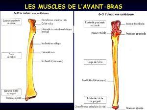 LES MUSCLES DE LAVANTBRAS LES MUSCLES DE LAVANTBRAS