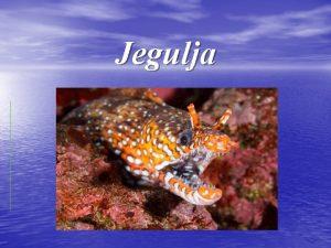 Jegulja Jegulja lat Anguilla anguilla Jegulja lat Anguilla