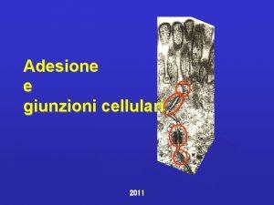 Adesione e giunzioni cellulari 2011 Adesione Cellulacellula cellulestrutture