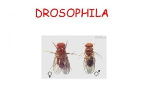 DROSOPHILA Ciclo vitale La drosophila ha un ciclo