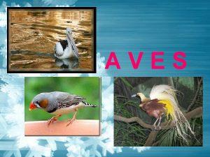 AVES Keistimewaan Aves Bulu sebagai penutup tubuh Homeotermendoterm