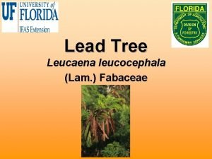 Lead Tree Leucaena leucocephala Lam Fabaceae Biology Also