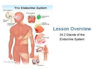 Lesson Overview Glands of the Endocrine System Lesson