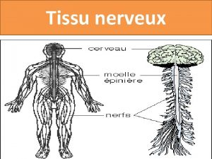 Tissu nerveux Ignralits dorigine neuroectoblastique comporte des cellules
