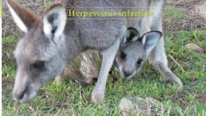 Herpesvirus infection Introduction Viruses are an important cause