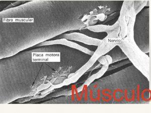 Msculo Nomenclatura SarcolemaMembrana plasmtica Sarcoplasma Citoplasma Retculo sarcoplsmico