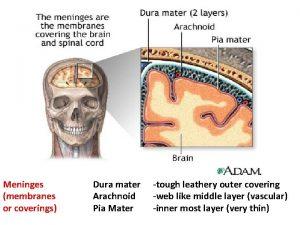Meninges membranes or coverings Dura mater Arachnoid Pia