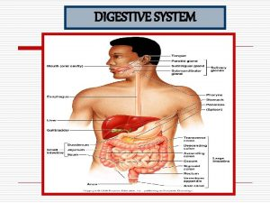 DIGESTIVE SYSTEM THE ALIMENTARY CANAL The alimentary canal